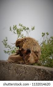 Barbary macaque suckling with his mom in Gibraltar. The Barbary Macaque population in Gibraltar is the only wild monkey population in the European continent. At present around 300 animals live there.