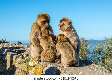 Barbary macaques family sits on top of the Rock of Gibraltar