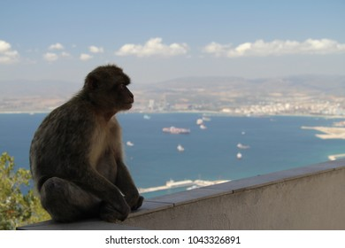 Barbary Macaques of Gibraltar overlooking the bay