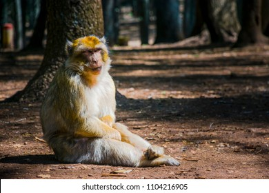 Barbary macaques  in the Middle Atlas mountains, at Azrou, Morocco