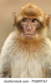 Barbary monkey portrait