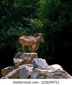 Barbary sheep (Ammotragus lervia), Audad, standing on rock hill with green trees in a background