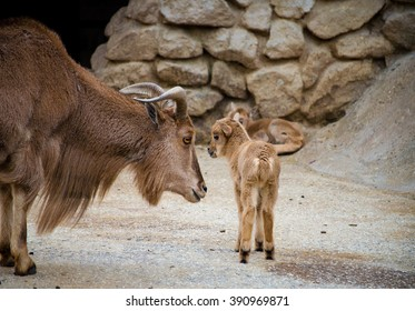 Barbary sheep (Ammotragus lervia), mother with baby.
