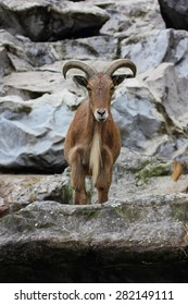 The Barbary sheep (Ammotragus lervia) is a northern Africa-based mammalian species
