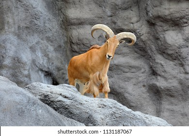Barbary sheep (Ammotragus lervia) standing on rock hill.
