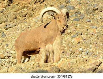 Barbary sheep buck (Ammotragus lervia)