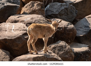 A Barbary sheep kid,  Ammotragus lervia, a species of goat-antelope native to rocky mountains in North Africa