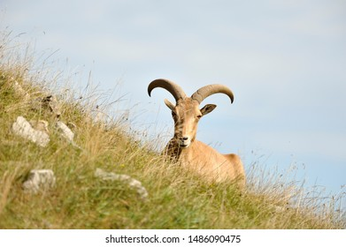 A Barbary sheep laying on the side of a grassy hill