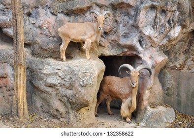 Barbary sheep are the only wild sheep from Africa.
