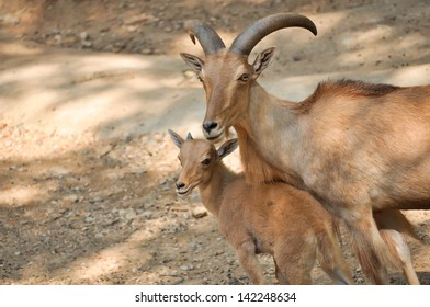 The Barbary sheep is a species of caprid native to rocky mountains in North Africa.