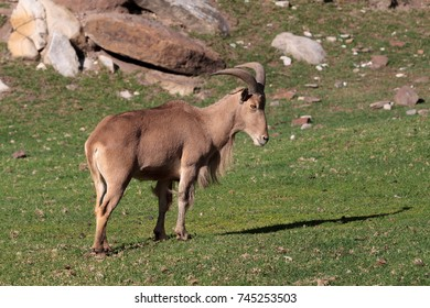 A Barbary Sheep standing in the open