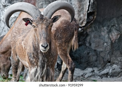 Barbary sheep, taken on a sunny afternoon, useful for various wild animal concepts design and print outs.