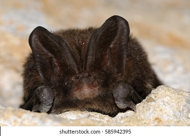 The barbastelle  bat Barbastella barbastellus, also known as the western barbastelle, is a European bat. It has a short nose, small eyes and wide ears