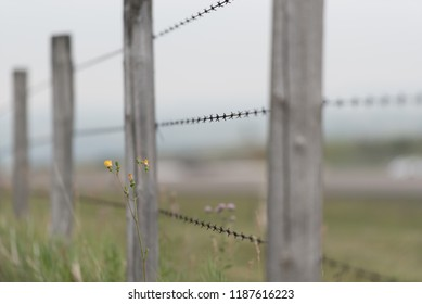 Barbed wire fence in Alberta, Canada with yellow weed flowers in foreground.