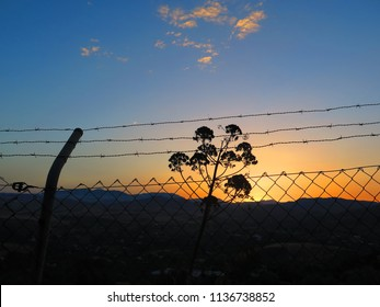 Barbed wire and large dill plant at dawn in Andalusian countryside
