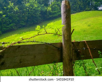 Barbed wire and thorn bush around a fence in front of a green meadow and forest