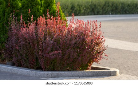 Barberry autumn bush with red leaves closeup