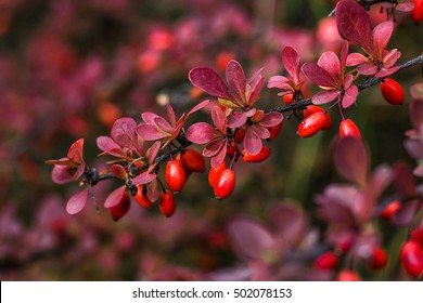 Barberry (Berberis vulgaris) branch fresh ripe berries natural green background Berberis thunbergii (Latin Berberis Coronita) Barberry berries fruits bush colorful floral autumn season shallow focus
