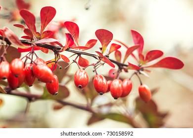 Barberry (Berberis vulgaris) branch fresh ripe berries natural green background Berberis thunbergii (Latin Berberis Coronita) Barberry berries fruits bush colorful floral autumn season shallow focus