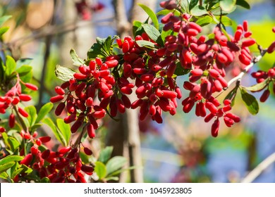 Barberry branch densely strewn with berries (Berberis vulgaris)