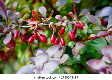 Barberry branch  with red berries (Berberis vulgaris). Branch of autumn barberry bush with red leaves and berries