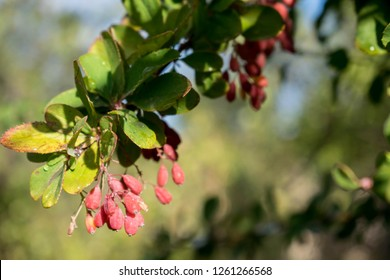 barberry red long berries grow in dense bunches have medicinal properties for design background