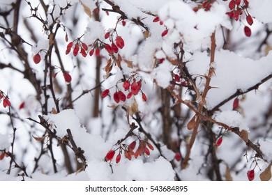 barberry under snow