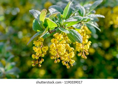 Barberry yellow flowers in sunlight