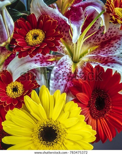 Barberton daisy, Gerbera jamesonii  is a member of the Gerbera genus. It is also known as the Transvaal daisy and as Barbertonse madeliefie in Afrikaans