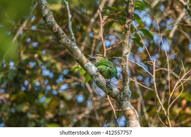 Barbet is a medium-sized bird in the family Megalaimidae rated Woodpecker Barbet look big, thick beak. Hairy mouth and sing loudly to hear it.