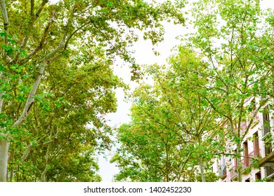 Barcelona, Spain. Trees in the Rambla in the afternoon in summer