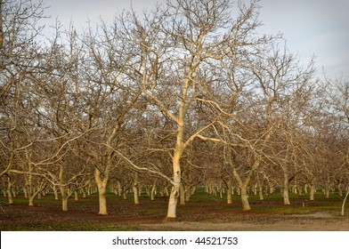 Bare Almond Tree in Winter with Blue Sky