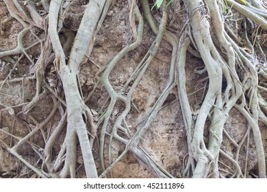 Bare big old roots protecting soil surface from erosion.