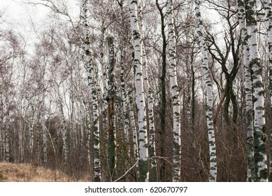 bare birch forest on the Curonian Spit, russian national park, color photography