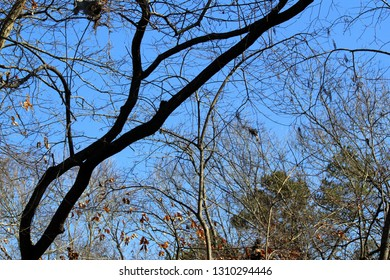 Bare, black and gray, curvy winter tree limbs entwined against a deep blue sky on Hartwell Lake in South Carolina at sunset.