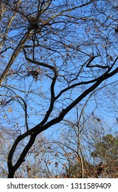 Bare, black and gray winter tree limbs entwined against a deep blue sky on Hartwell Lake in South Carolina.