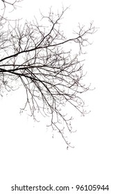 Bare Branches of a tree on a white background in  the beginning of the spring