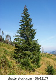 Bare fir forest tree blue sky hay genuine