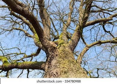 Bare leafless oak tree in hibernation view from below with blue sky in winter