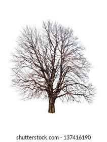 bare linden tree on white