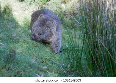 The bare nosed or common wombat (Vombatus ursinus) grazes and moves through his territory carrying seeds stuck to his hairy coat.