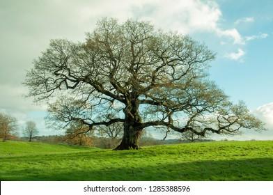 Bare old oak tree in a meadow.