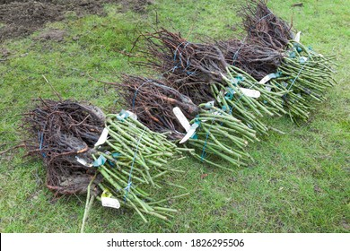 Bare root rose plants, shrub roses bare rooted for planting a rose hedge, UK