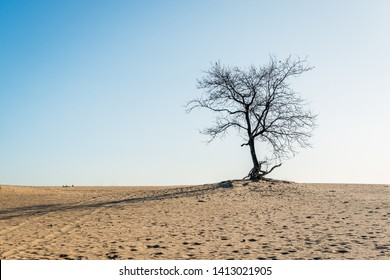 Bare solitary tree on top of a sand dune on a sunny day in the spring season in the Dutch National Park Loonse en Drunense Duinen near the village of Udenhout, North Brabant.