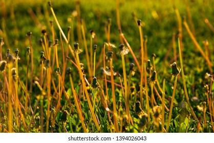 Bare steams of dandellion blowballs in summer grass backlit in sunset time