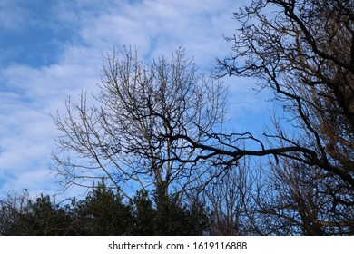 Bare tree branches against a blue sky with alto cumulus cloud formation