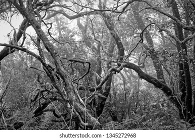 Bare tree branches in a dense forest as a black and white photo. Madeira, Portugal