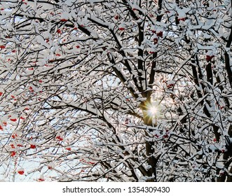 Bare Tree Branches with Red Berries laden with Snow as Sun shines through creating a starburst