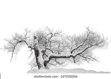Bare tree covered in snow on cold winter day, casting shadow on white background