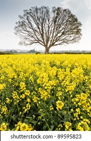 Bare tree on the edge of a yellow rape seed field against a cloudy backdrop